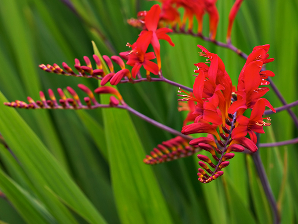 Perennials lee county master gardeners tupelo ms crocosmia mightylinksfo