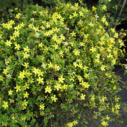 Trees shrubs lee county master gardeners tupelo ms shrub sunlight shade yellow flower blooms along draping stems 3 feet mightylinksfo